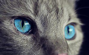 domača žival oči