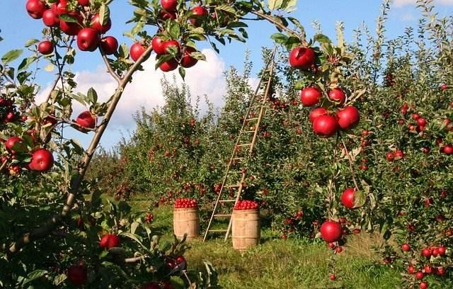 sajenje jabolka